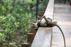 Befestigungsklammer-Essen von Macaque Stockfoto