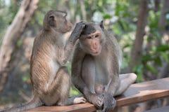 Befestigungsklammer-Essen von Macaque Lizenzfreie Stockbilder
