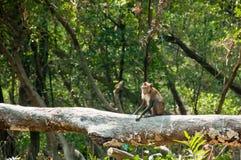 Befestigungsklammer-Essen von Macaque im Mangrovewald Stockbilder
