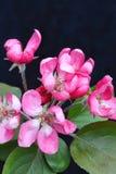 Befestigungsklammerbaum-Apfelblüte Stockbild