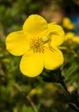 Befestigungsklammerspinne auf Shrubby Cinquefoilblume stockbild