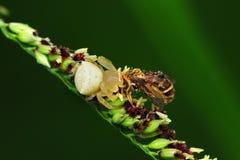 Befestigungsklammerspinne, die eine Biene isst lizenzfreies stockbild