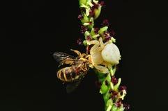 Befestigungsklammerspinne, die eine Biene isst lizenzfreie stockfotografie