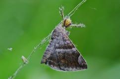 Befestigungsklammerspinne, die eine Motte isst stockbild