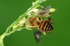 Befestigungsklammerspinnenessen Bienen Lizenzfreie Stockbilder