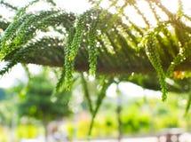 Befeuchten Sie Wassertropfen auf immergrünen Kieferniederlassungen des Nadelbaums Lizenzfreie Stockbilder