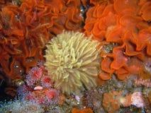 Befjädra dammtrasan Worm som omges av flöjtlika Bryozoans, taggiga bräckliga stjärnor och Klubba-tippade anemoner Arkivfoto