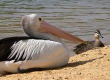 Befjädrade vänner pelikan och and Arkivbilder