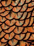 befjädrar orangen Arkivfoto