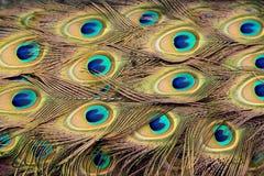 befjädrar påfågeln royaltyfri fotografi