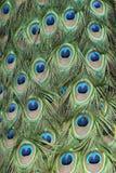 befjädrar påfågeln royaltyfri bild