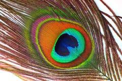 befjädrar påfågeln Royaltyfri Foto