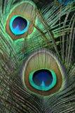 befjädrar påfågeln Arkivbild