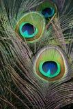 befjädrar påfågeln Fotografering för Bildbyråer