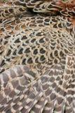 befjädrar pheasantvingar Royaltyfri Foto