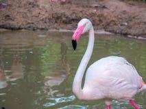 Befjädrar större flamingo för rosa stora fåglar i vattenlokalvården royaltyfri foto