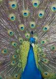befjädrar upp påfågeln royaltyfri bild