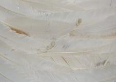 befjädrar white Royaltyfri Fotografi