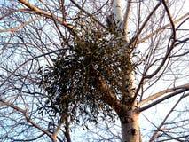 Befläckt mistel - Viscumcoloratum Fotografering för Bildbyråer