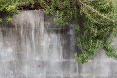 Befleckte graue Blockwand mit dem Rosmarin, der über die Spitze kaskadiert Stockfotos