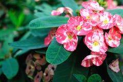 Begónia cor-de-rosa Fotos de Stock