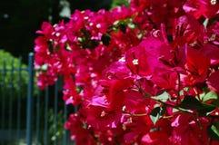 Begónia cor-de-rosa fora da cerca Imagem de Stock Royalty Free