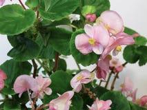 A begônia é uma planta decorativa com as folhas heterogêneos muito bonitas de várias formas e de flores brilhantes inesquecíveis foto de stock