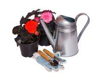A begônia nova das plântulas floresce, as ferramentas de jardinagem e lata molhando isoladas Imagens de Stock Royalty Free