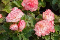 begônias tuberosas Branco-cor-de-rosa Imagens de Stock Royalty Free