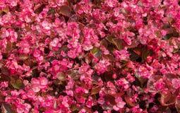 Begônias vermelhas de florescência Fotografia de Stock Royalty Free