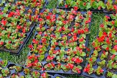 Begônias vermelhas brilhantes em uns potenciômetros plásticos para plantar na cama de flor Fotografia de Stock