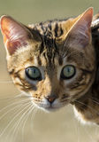 Begal kitten head shot Stock Image