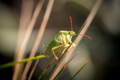 Begbug in nature close up with blurry background. Begbug in nature close up with blurry green background Royalty Free Stock Image