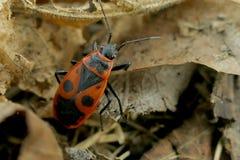 Begbugs vermelhos no macro da árvore Foto de Stock Royalty Free