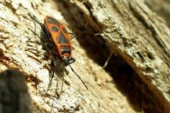 Begbugs vermelhos no macro da árvore Imagens de Stock
