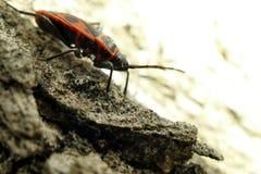 Begbugs vermelhos no macro da árvore Fotografia de Stock Royalty Free