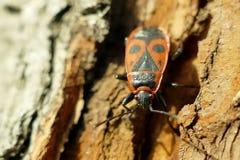 Begbugs vermelhos no macro da árvore Fotografia de Stock
