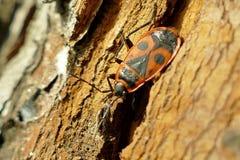 Begbugs vermelhos no macro da árvore Imagem de Stock