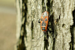 Begbugs vermelhos no macro da árvore Fotos de Stock Royalty Free