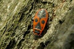 Begbugs vermelhos no macro da árvore Imagens de Stock Royalty Free