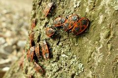Begbugs vermelhos no macro da árvore Foto de Stock