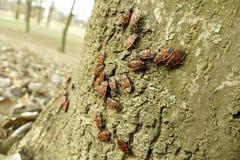Begbugs vermelhos no macro da árvore Fotos de Stock