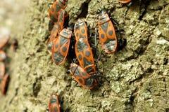 Begbugs vermelhos no macro da árvore Imagem de Stock Royalty Free