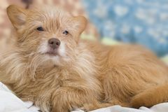 Bege do cão de cachorrinho O cão encontra-se no sofá Retrato de um cão do close-up fotos de stock royalty free