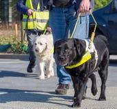 Begeleidingshonden voor blinden royalty-vrije stock foto