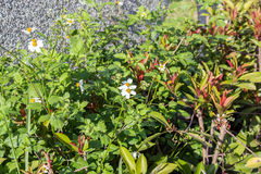 Beggarticks Flower (Bidens Alba) Royalty Free Stock Photography