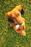 beggiing миниатюра dachshund стоя вверх Стоковые Фото
