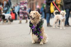 Beggin' Pet Parade. St. Louis, Missouri, USA - February 04, 2018, The Beggin' Pet Parade is part the Soulard neighborhood Mardi gras celebrations