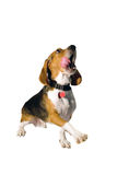 Begging Beagle royalty free stock image