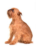 Begging Brussels Griffon puppy. Looking up Stock Images